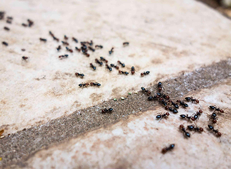 Effective Ant Control Services in New Market, MD